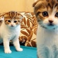Cutest Twins ever . Scottish Fold Kittens