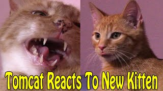 Tomcat Reacts to Cute Ginger Kitten