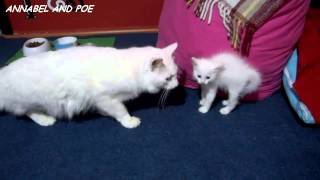 Cute Kittens Firstly Meet with Their Daddy