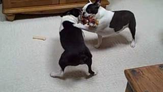 Boston Terrier dogs FUNNY dog shenanigans CUTE puppies (Original)