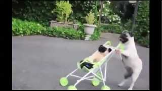 Funny Dog Videos - compilation 2014 - Most Funny Dogs with Comedy Action video