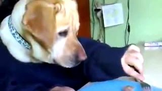 Funny Videos Of Labrador Dogs Compilation 2014 [NEW]