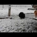 Crazy dogs in the snow for the 1st time