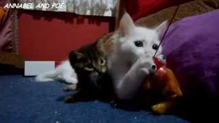 Cute Kittens are Playing with Little Stepbrother