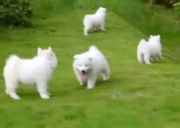 Puppy Love – Samoyed Puppies