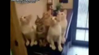 crazy cats [ funny ] قطط مهيسة