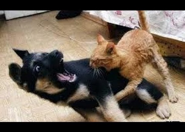Cats and dogs fight for beds and sofa – Funny animal compilation